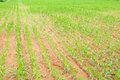 Free Rows Of Young Corn Plants Stock Photos - 21096893