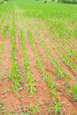 Free Rows Of Young Corn Plants Royalty Free Stock Photo - 21097225