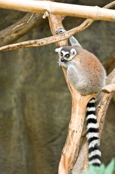 Free Lemur Royalty Free Stock Photos - 21090008