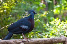 Free Pheasant Bird Royalty Free Stock Images - 21090059