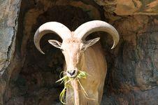 Free Brown Mountain Goat Royalty Free Stock Photo - 21090145