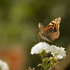 Free Butterfly Stock Image - 21090171