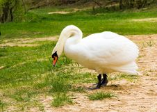 Free White Swan Royalty Free Stock Photo - 21090445