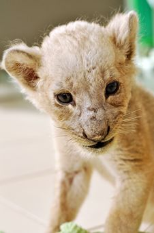 Free Lion Cub Stock Photos - 21090663