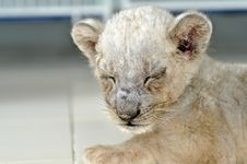 Free Lion Cub Stock Image - 21090701