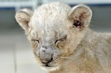 Free Lion Cub Royalty Free Stock Images - 21090739