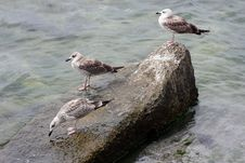 Free Three Seagulls Resting On Rock Stock Image - 21090891