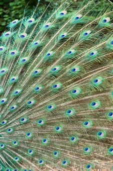Free Feather Of Peacock Royalty Free Stock Photos - 21091008