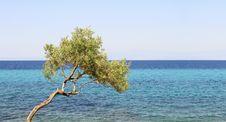 Free Olive Tree Royalty Free Stock Photography - 21091127