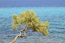 Free Olive Tree Stock Image - 21091151
