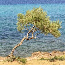 Free Olive Tree Royalty Free Stock Photo - 21091175