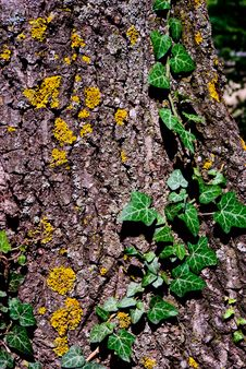 Free Ivy On A Tree Royalty Free Stock Image - 21091386