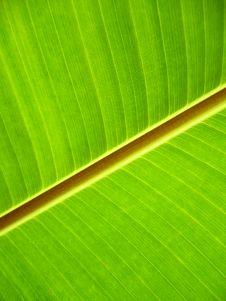 Green Banana Leaf. Stock Photo
