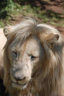 Free White Lion Stock Image - 21091671