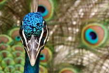 Free Peacock Royalty Free Stock Photo - 21091955