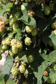 Free Hop Plant Stock Images - 21092654