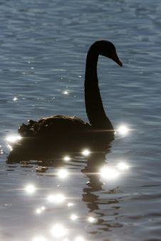 Free Silhouette Of Swan On Sparkle Water. Stock Photos - 21095963