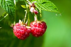 Two Raspberries Stock Photography