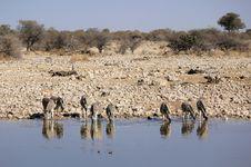 Free Herd Of Burchell Zebras In Namibia Etosha Wildpark Royalty Free Stock Photo - 21099965