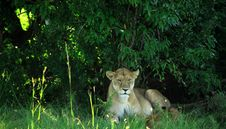 Free Lioness Resting Under A Tree Royalty Free Stock Photos - 2110088