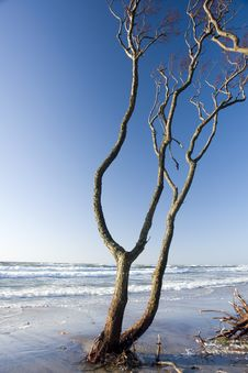 Free Barren Tree At The Sea. Royalty Free Stock Photo - 2110585