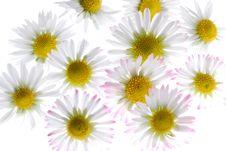 Free Daisy Royalty Free Stock Photo - 2114035