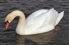 Free White Swan Royalty Free Stock Photos - 2114508