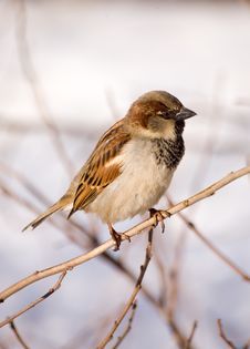 Free Passer Domesticus Royalty Free Stock Photography - 2114777