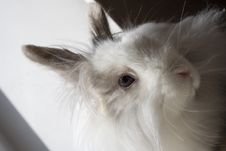 Free Royal Lionhead S Rabbit Royalty Free Stock Image - 2115056