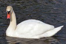 Free White Swan 2 Royalty Free Stock Photos - 2116058