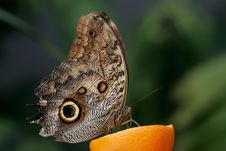Free Blue Morpho Stock Photography - 2116492