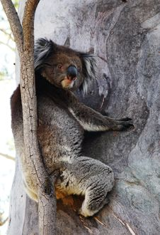 Free Koala Bear Stock Photo - 2116570