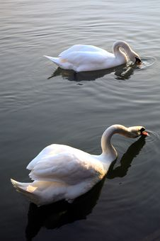 Swans Floating Stock Image