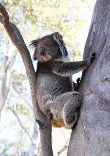 Free Koala Bear Stock Images - 2116634