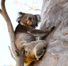 Free Koala Bear Stock Image - 2116651