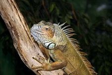 Free Iguana Stock Photos - 2118273