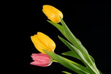 Free Glowing Tulips Stock Image - 2118651