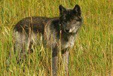 Free Dark Grey Wolf Stock Photos - 2119013