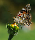 Free Butterfly Royalty Free Stock Photography - 21100387
