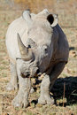 Free White Rhino Bull Stock Photo - 21101390