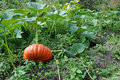 Free Gourd Plant Vegetable Pumpkin Royalty Free Stock Images - 21102199