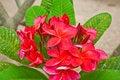 Free Group Of Plumeria Flower Stock Photos - 21103403