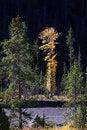 Free Tall Aspen Tree Stock Photography - 21104162