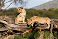 Free Playful Cubs Royalty Free Stock Image - 21109056