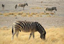 Free Herd Of Burchells Zebras In Etosha Wildpark Royalty Free Stock Photography - 21100167