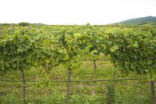 Free Vineyard Royalty Free Stock Images - 21100419
