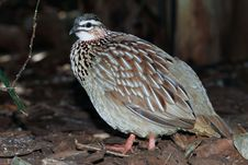 Free Crested Francolin Stock Photo - 21101090