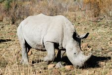 Free White Rhino Bull Stock Images - 21101314