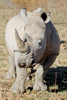 Free White Rhino Bull Stock Photo - 21101390