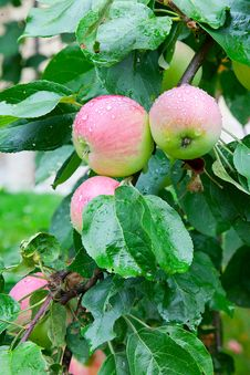 Free Apple Tree After Rain Stock Image - 21101461